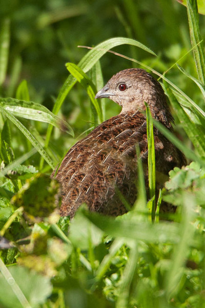 The Brown Quail, also known as Swamp Quail, is actually an introduced species.  We only got a quick look at them.  They are quite small, about 7 inches, and difficult to see because they tend to stay on the ground in heavy cover.