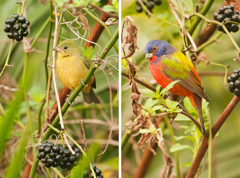 Both the male and female cooperated by posing among the vines and berries.