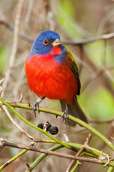 One of the bird species seen along the boardwalk is the Painted Bunting.  The male (above) is one of the most colorful birds that we see in the United States.  It takes two years before the males look like this, however.  During their first year they look very much like the females (see below).
