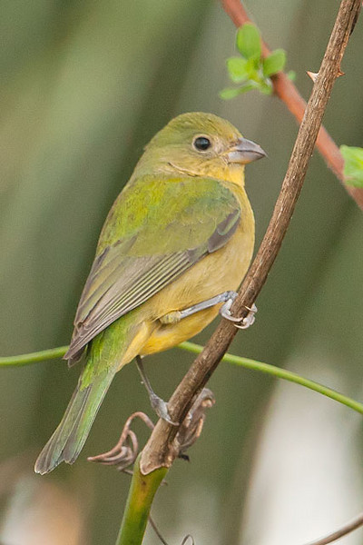 Female Painted Buntings are lime green and yellow. This muted plumage helps them to be less conspicuous when they are sitting on their nests.  At a glance, they could be mistaken for one of our less colorful warblers but note that the sturdy bill is not at all like the thin, sharp bill of a warbler