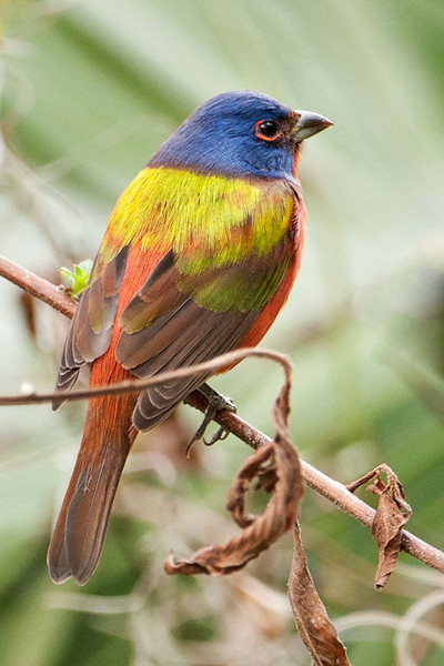 Here is a photo that shows the spectacular colors of this bird.  It really deserves to be called our most beautiful songbird.