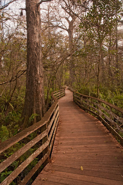 """Corkscrew Swamp  <a href=""""http://www.corkscrew.audubon.org/"""">http://www.corkscrew.audubon.org/</a> ) is an Audubon bird sanctuary located in southeast Florida about an hour away from Fort Myers.  You walk through the sanctuary on a 2.25 mile boardwalk (pictured above).  The birds and other wildlife realize that people must stay on the boardwalk so they don't spook as easily and you often get very good looks at them."""