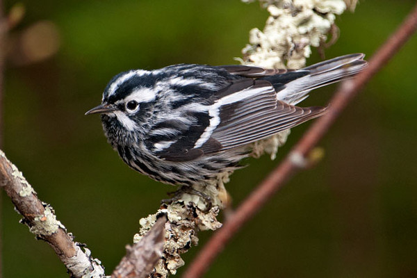 The Black and White Warbler has a feeding pattern that is unlike any other warbler.  It creeps along the trunk and larger branches of trees, searching for insects in the bark crevasses like a Brown Creeper would do.  In fact, this Warbler was once known as the Black and White Creeper.  It breeds over much of Canada and the eastern United States, except in the southeast.  Winter finds it in Mexico, Central America, northern South America, and the Caribbean.  This is a male; the female is similar in appearance but has a white throat and less streaking on the underside.