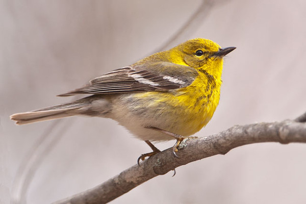 The Pine Warbler breeds in most of the eastern United States.  But, true to its name, it is almost always found in pine trees.  Most other warblers migrate to the tropics in winter, but it's estimated that about 90% of the Pine Warblers stay in the United States; many are year-round residents in the southeast.  This is a male; the female looks very similar but not as bright yellow.