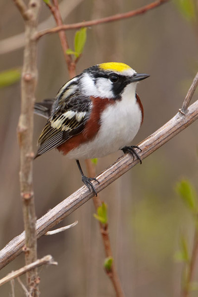 "In spring, warblers are in their most colorful plumage.  This is a male Chestnut-sided Warbler; the female looks similar but a little less colorful.  This species goes through a molt during the summer.  By fall, the black on the face will be gone, replaced by gray.  The back and the top of the head will be greenish yellow and they will have a white eye ring.  The male will still have the chestnut sides but the female may not have any.  This makes them a good example of what birders call ""confusing fall warblers"".  Chestnut-sided Warblers breed in southeastern Canada and the northeastern United States from Minnesota to Maine.  Their breeding range also extends into the Appalachian Mountains.  In winter they are found in Central America."