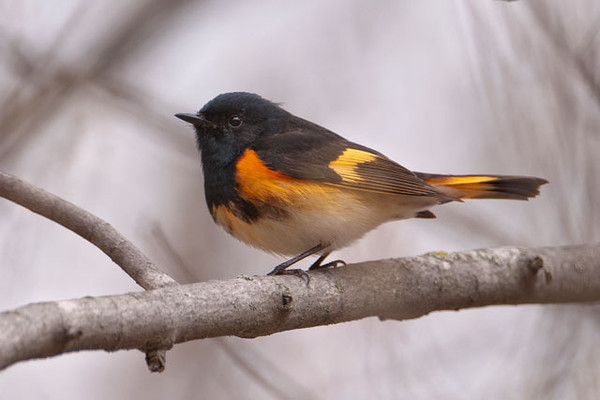 This is a male American Redstart; the female has similar markings but is gray/green where the male is black and yellow where the male is orange.  Redstarts nest in most of the eastern United States as well as southern and western Canada and Colorado, Montana, and the western Dakotas.  They spend the winter in Mexico, Central America, northern South America, and the Caribbean.  Like most warblers, they hop along branches to find small insects but also catch lots of insects in midair, much like a Flycatcher would do.  They have a habit of suddenly spreading their tails and drooping their wings to show off the orange or yellow spots.  It's assumed that this action startles insects into moving, so the birds can see them more easily.