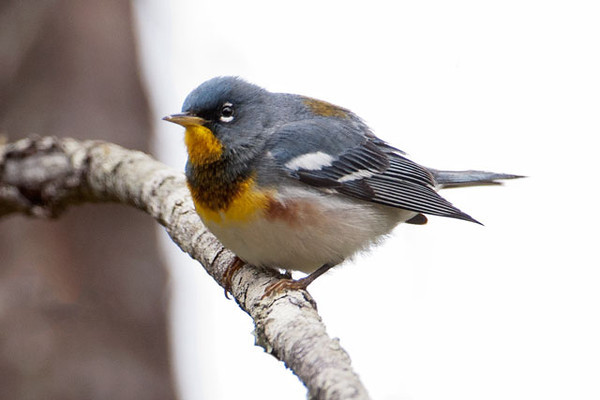 """The Northern Parula, at 4.5"""", is the smallest of the birds shown here.  You often hear its song (a buzzy, rising trill), before you see the bird.  It nests in forest habitat all across the eastern United States and into Canada, except for a band from southern Minnesota and Iowa eastward to New York that lacks the right habitat.  It is a neotropic migrant, spending the winter in Central America and the Caribbean.  In this photo, you can see the greenish patch on its back.  This is a male; the female is lighter blue and lacks the rusty and black band across the chest."""