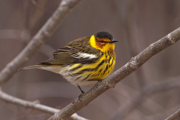 """Spring migration is in full swing here in Minnesota.  Last week my friend Shawn and I were birding for about 6 hours and saw just over 100 species in western Itasca County.  One group of birds we look forward to seeing each spring is the warblers.  These are small (4.5 – 5.5""""), colorful, energetic birds.  This is a Cape May Warbler.  It received that name because the first specimen was found in Cape May County, New Jersey, in 1811.  But New Jersey is only a migration stop between the warbler's winter home in the Caribbean and its summer home in Canada.  They also breed in the far northeastern United States from Minnesota to Maine.  These birds are fearless and very aggressive in defending their nests.  That fact, plus their striped breast, earned them the Latin name tigrina (tiger)."""