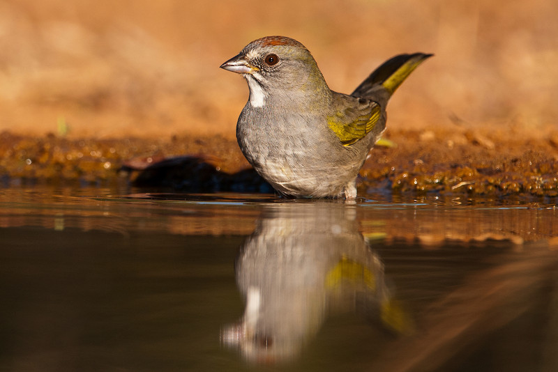 Here is the first Green-tailed Towhee ever reported at Laguna Seca.  The summer range of these birds includes many of the western states but in the winter they migrate to the southern borders of California, Arizona, New Mexico, and Texas, as well as into Mexico.  This is a fairly small species, about halfway between a House Sparrow and a Cardinal.