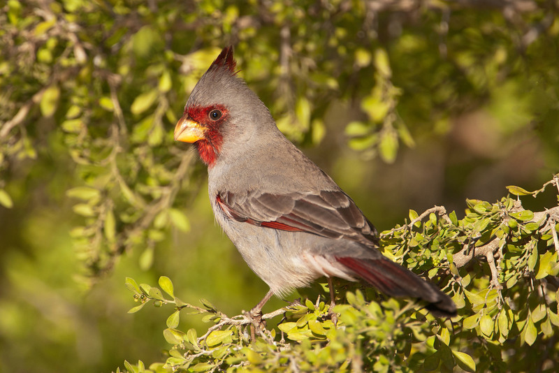"The Pyrrhuloxia is sometimes called the ""Desert Cardinal"" because it likes very dry areas.  You can find them in the southern parts of Arizona, New Mexico, and Texas.  Note the similarities to the Northern Cardinal (above) but also note the difference in the bills of the two birds.  This photo shows a male; the female is similar but has less red in her plumage."
