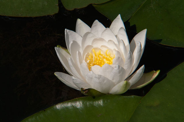 Here's a White Water Lily growing in our lake.  They tend to start blooming later than the Yellow Water Lilies.  We have several shallow areas in the lake just covered with both kinds of water lilies.