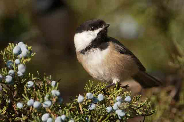 I like cedar trees as the background for bird photos, especially when they have developed their blue berries.  This Black-capped Chickadee was exploring the Cedars at Vadnais Lake in the St. Paul, MN suburb of Vadnais Heights.