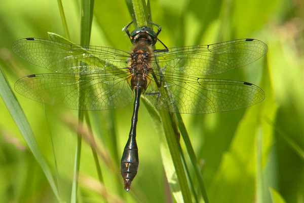 This Racket-tailed Emerald dragonfly was found at our home in northern Minnesota.  I haven't been able to find much information about this species.  They do tend to be found around small lakes and ponds with marshy edges and acidic water.  In Minnesota their range is the northeastern two-thirds of the state.