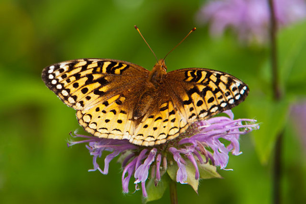 "We also get lots of Great Spangled Fritillaries in our yard.  With a wingspan of 2½"" to 4"", it is one of the larger species that we see.  This is another butterfly that is found over much of North America.  It likes open areas and is seen from June to September.  Its caterpillar feeds on violets."
