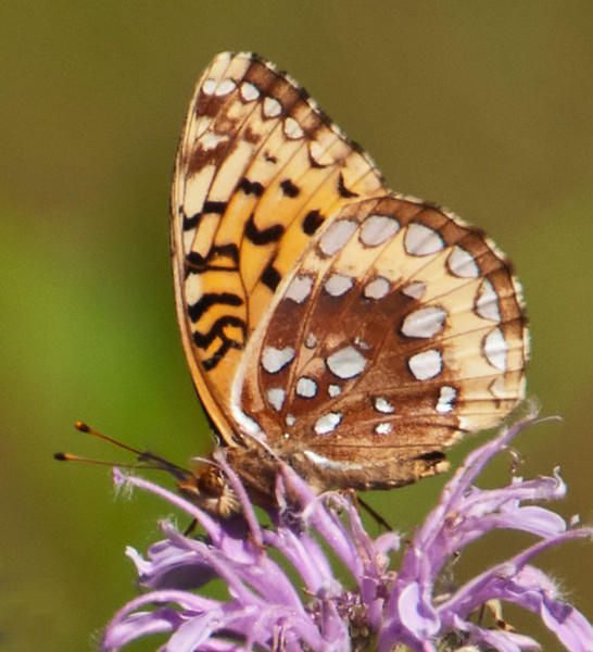 This photo shows the under wing pattern of the Great Spangled Fritillary.