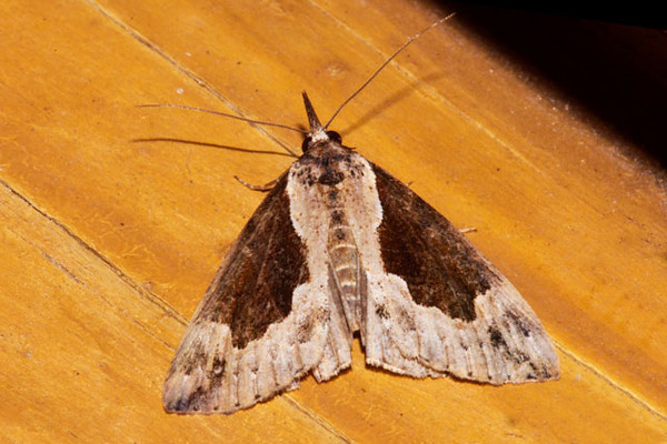 I also found very little information about this Baltimore Hypena moth (Hypena baltimoralis).  Its range is described as Eastern United States, west to Wisconsin.   It must be extending its range because we are farther west than Wisconsin.  It has a wingspan of just over an inch.