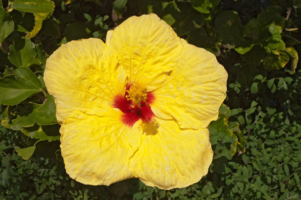 Hawaii's five native Hibiscus flowers have been crossed with over thirty non-native Hibiscus species to produce thousands of varieties of this popular bloom.  This yellow one was photographed at the condo complex where we stayed.