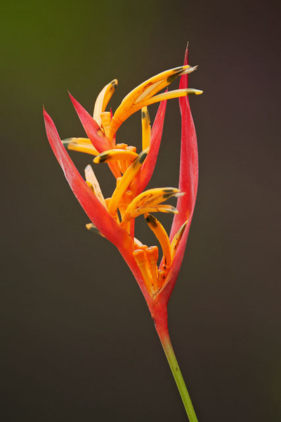 This Ke'anae Heliconia was growing right outside the condo where we stayed.  More than 20 varieties of Heliconia have been brought to Hawaii from their native jungle habitat in South America.  Some produce spectacular branches of large, colorful bracts which are popular in cut flower arrangements.