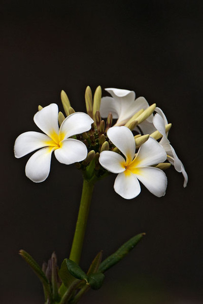 This is the flower of the Plumeria plant.  They are grown commercially and are especially good for stringing together into leis.