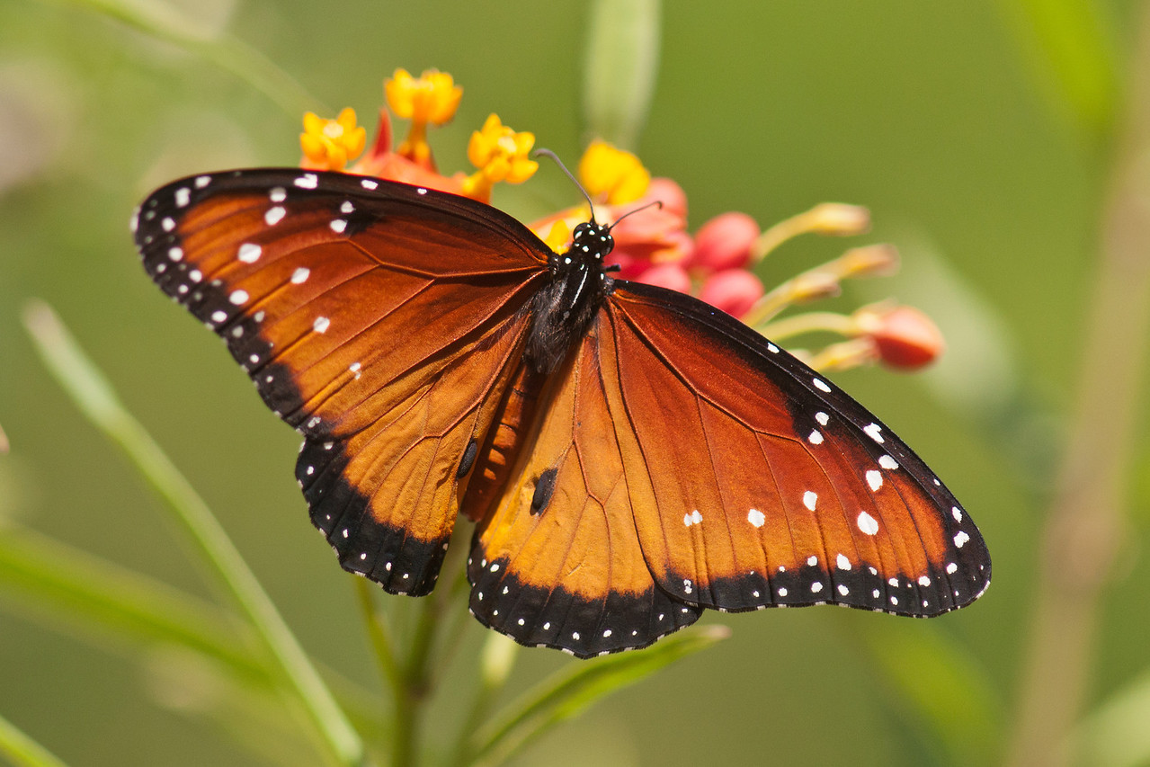 In Edinburg, TX, I visited a private home which is landscaped to attract butterflies.  It was amazing to see how many different species were attracted to a standard-sized city lot carefully planted with the right flowers.  There were many Queen Butterflies in this yard.  With a wingspan of 2½ to 3¾ inches, they are a little smaller than a Monarch.