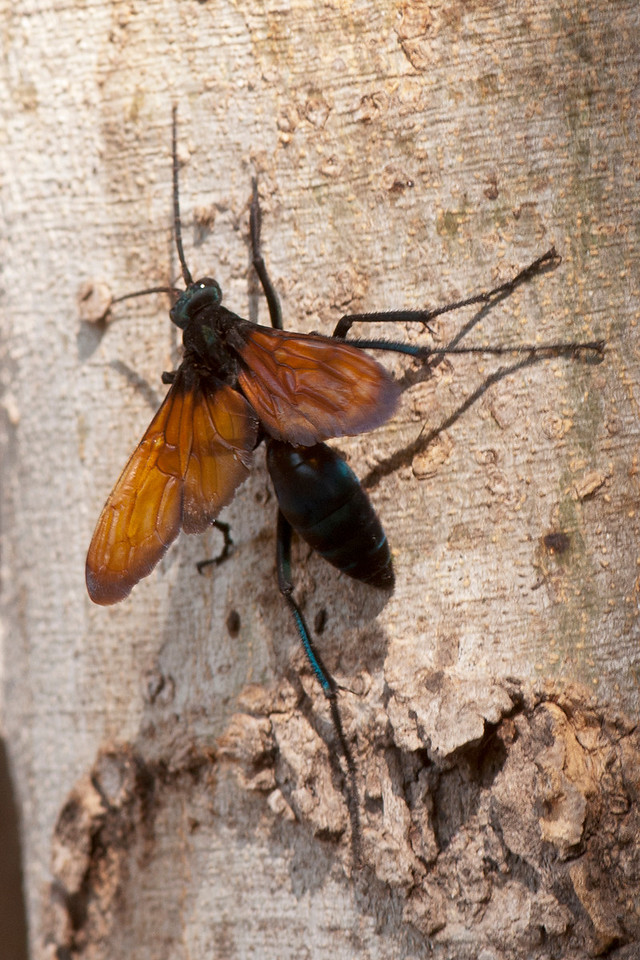 Other insects besides butterflies were also attracted to the gardens.  Someone told me this Tarantula Hawk Wasp has a really nasty sting.  Fortunately, I didn't have an opportunity to find out if it was true.