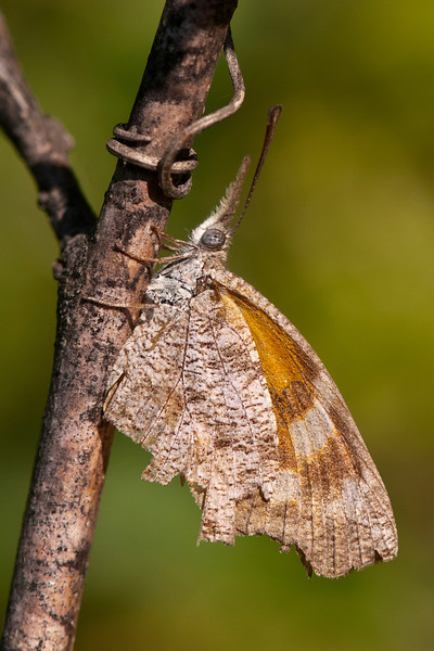 This butterfly could easily be mistaken for a dead leaf.  It is called the American Snout; if you look at its head, you can see why it got that name.  They have a wingspan of 1½ to 2 inches.  I've read that the Snout population occasionally explodes, resulting in massive migrations of this species.
