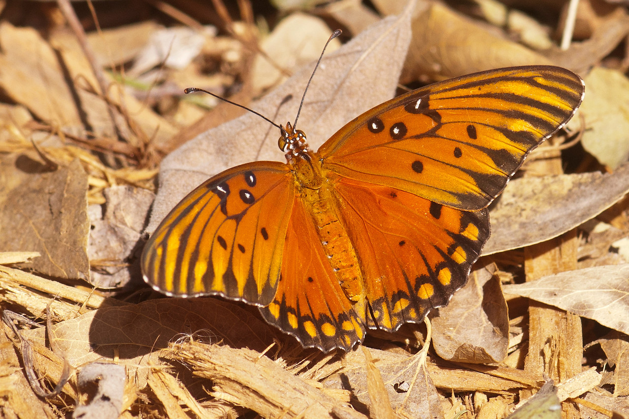 My trip to Texas included a stop at the National Butterfly Center near Mission, TX.  They've planted native flower species that attract many kinds of butterflies.  This is a Gulf Fritillary which has a wingspan of 2½ to 3¾ inches.  They are found from Argentina through Central America, Mexico, and into the southern United States.