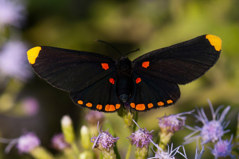 The Red-bordered Pixie is a beautiful butterfly with a wingspan of 1½ to 2 inches.  It is found from the Rio Grande Valley in Texas to Costa Rica.