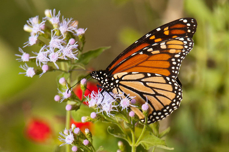 """Monarchs were passing through Texas on their annual migration.  I photographed this one at Laguna Atascosa National Wildlife Refuge.<br /> <br /> Here's a link to many more butterfly photos from my Texas trip.<br /> <br /> <a href=""""http://www.earlorfphotos.com/TexasTrip-OctNov2011/Texas-Butterflies-and-Other/20484118_cM4w8X#1621874033_NZ5vH97"""">http://www.earlorfphotos.com/TexasTrip-OctNov2011/Texas-Butterflies-and-Other/20484118_cM4w8X#1621874033_NZ5vH97</a>"""