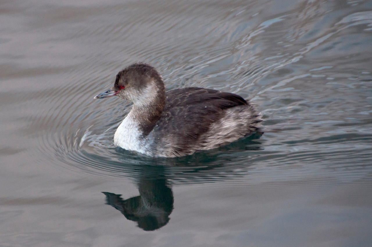 """One day after class I looked out at the dock by the Folk School and saw this Horned Grebe.  This is its winter plumage, much different than the summer plumage.  Here's a link to a photo showing the summer plumage.  <a href=""""http://www.earlorfphotos.com/Birds/Birds-2/5687792_WtJw7j#!i=350664136&k=U5QAG"""">http://www.earlorfphotos.com/Birds/Birds-2/5687792_WtJw7j#!i=350664136&k=U5QAG</a>"""