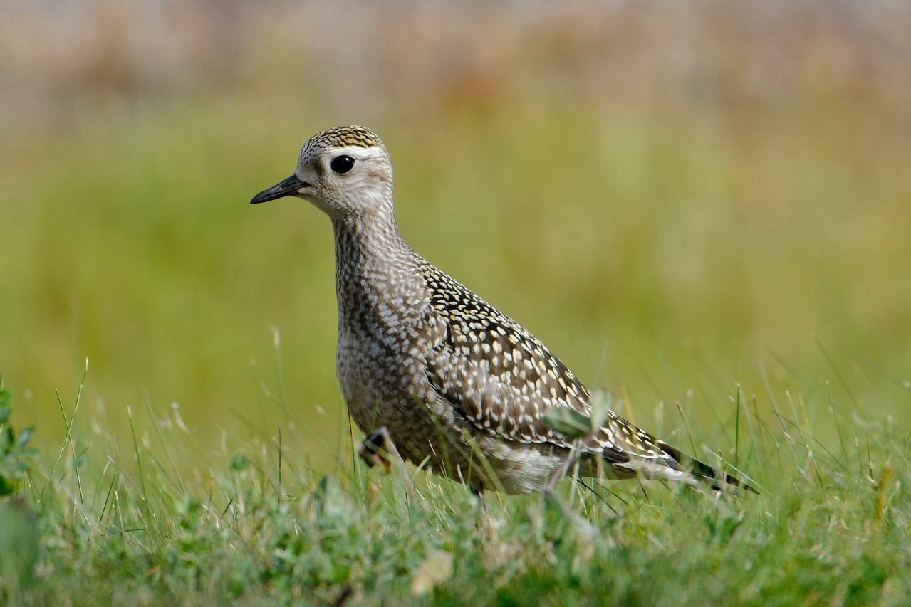On my way home from the workshop, I stopped at the Silver Bay Marina and found this migrating American Golden-Plover.