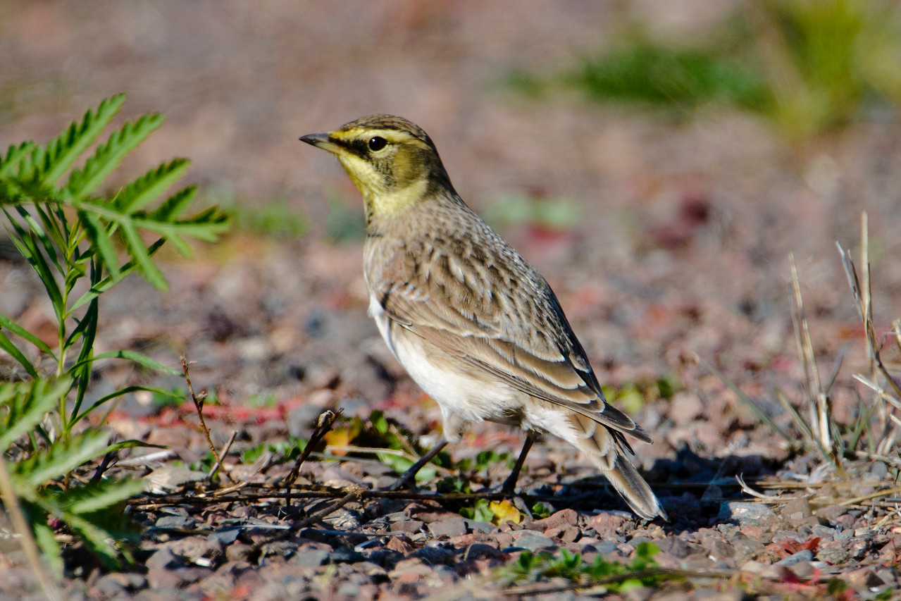 The North House Folk School Photography Workshop was not about birds, but you know I couldn't ignore the birds I saw.  On the way to Grand Marais I stopped at Taconite Harbor, one of my favorite places to photograph birds.  At this time of year, I'm usually able to find Horned Larks like this one.  They like to stop here during migration and eat grass seeds in the overgrown parking areas.