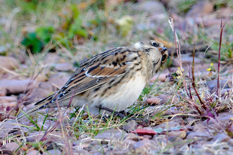 I thought this was a pretty funny view of a Lapland Longspur reaching for a seed.