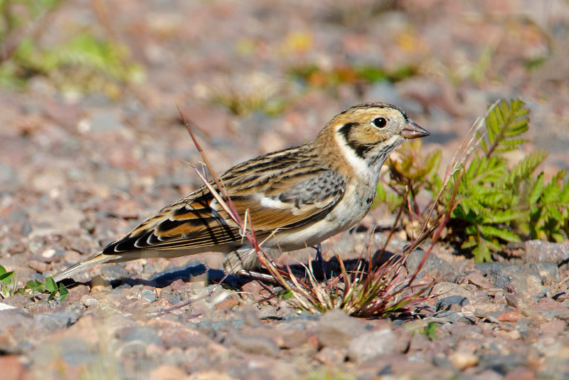 Lapland Longspurs are usually mixed in with the Horned Larks.  They breed in the far northern areas of Canada and Alaska.  At the time I saw them, they were migrating south to spend the winter foraging in open fields across the northern United States, especially on the Great Plains.