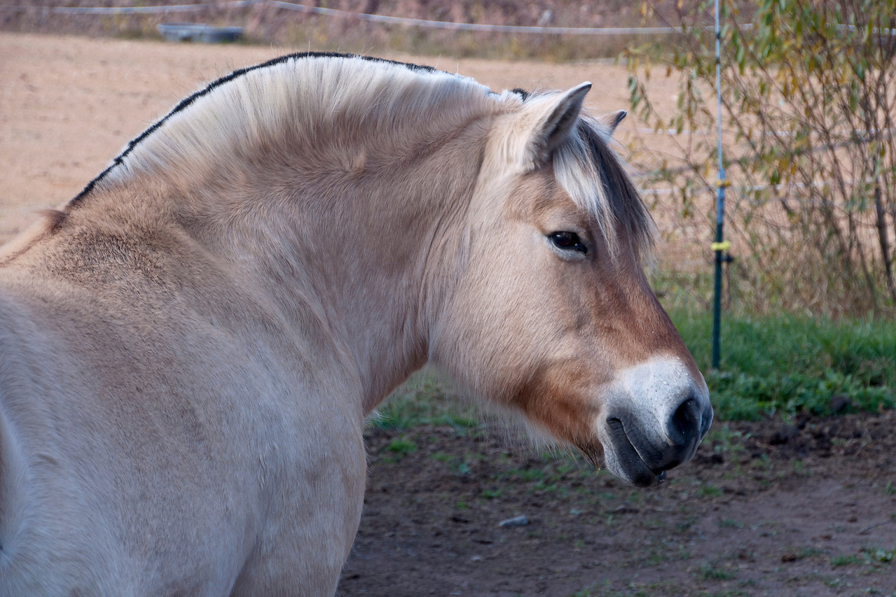 The main reason we came to the farm was to see and photograph their Norwegian Fjord Ponies