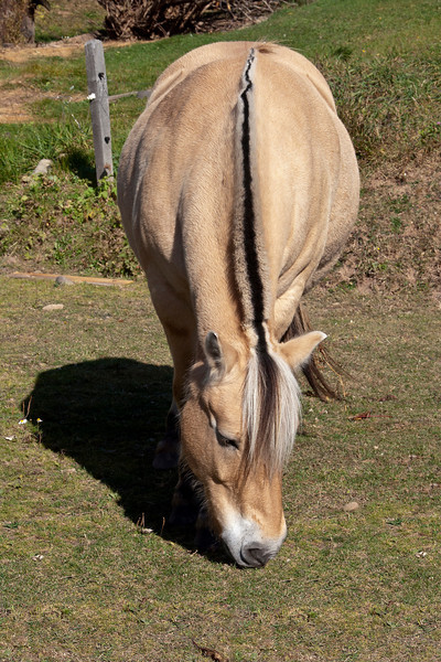One special feature about these ponies is the streak of black hair that runs from their head all the way back to the tail.