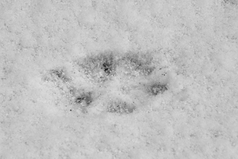 We found these animal tracks in the snow and someone in the group said they were made by a fox.