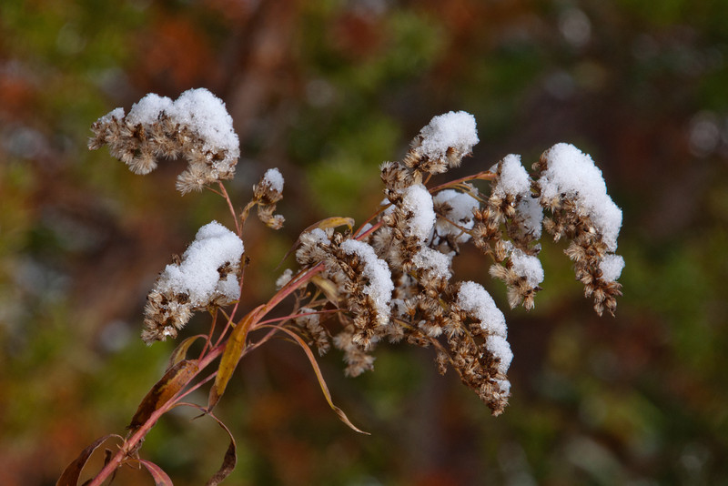 Many of the wildflower seed heads had a fluffy coating of snow on them.