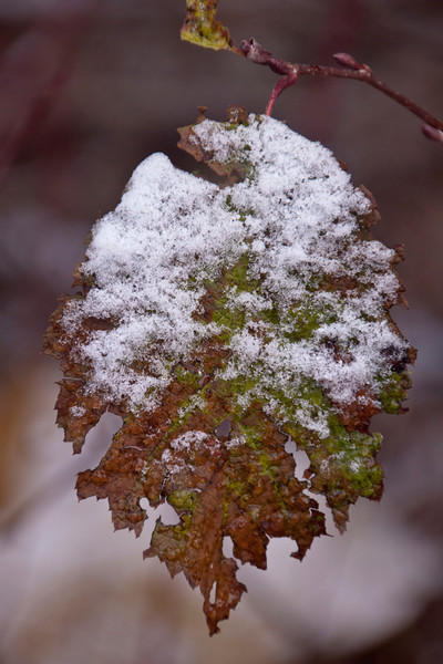We were looking for interesting patterns made by the snow.  I took this shot because the leaf was partially covered with clinging snow.  However, it wasn't until I downloaded the photo to my computer and started editing it that I fully appreciated the jagged edges of the leaf and the green and brown color pattern.