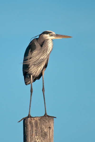 Great Blue Herons are highly adaptable in their food and habitat requirements.  As a result, they are common across most of the United States and southern Canada.  This one was standing on a piling in the bay at Eastpoint, Florida.  It had its head tucked in and therefore looks kind of short.  But, at 46 – 52 inches, Great Blue Herons are our largest heron species.