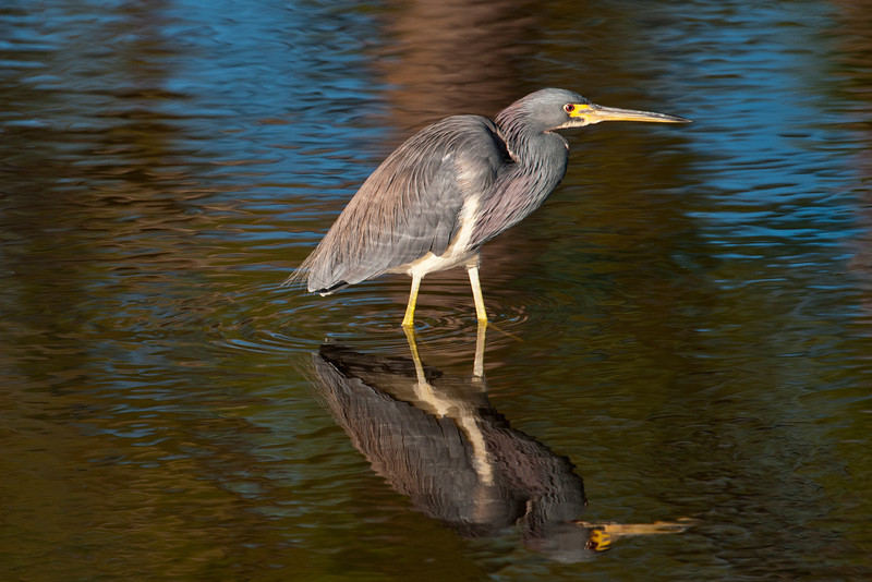 This Tri-colored Heron was in the same pool as the Snipe (above).  These herons are medium-sized wading birds (24-26 inches) typically found in shallow water searching for small fish, frogs, crustaceans, etc.  They are year-round residents along the Atlantic and Gulf Coasts of the United States.