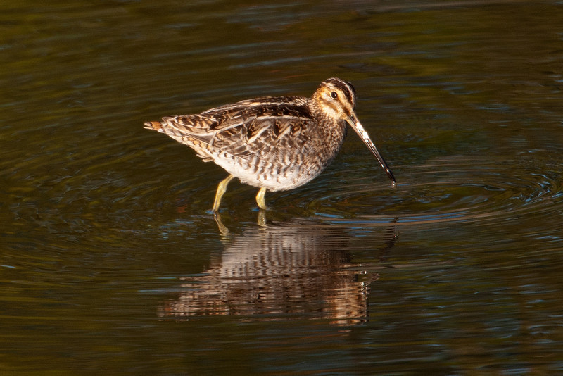 Here's a Wilson's Snipe that was foraging in a pool right next to the road at St. Mark's.  Snipe are found in wet fields and boggy areas.  They use their long, flexible, sensitive bills to probe in the mud looking for insects and earthworms.  They breed in the northern United States and Canada.  During winter they migrate south; most stay in the southern United States, while some go even further south.