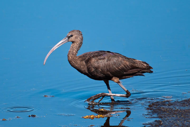 The Glossy Ibis is a bird found in many parts of the world.  In the U.S., its range covers the Atlantic and Gulf Coasts.  It does well in both freshwater and saltwater marshes and feeds on insects and crawfish.  This photo and the next two were taken at St. Mark's NWR in Florida.