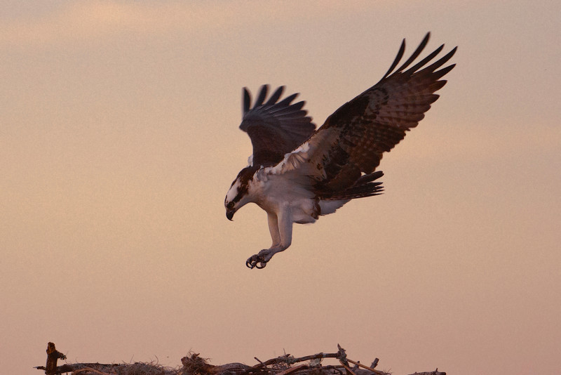 The setting sun was creating a pink glow in the sky as we were leaving Lake Toho.  I managed to push the shutter button just as this Osprey was about to land on a nest platform.