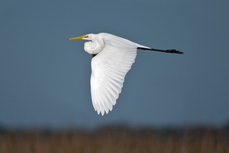 Here is another Great Egret flying over Lake Toho, but it doesn't have the green facial skin.  Most Great Egrets don't breed until their second year so this might be a first-year bird.  Note how the neck is curled and the head tucked in when the egret is flying.