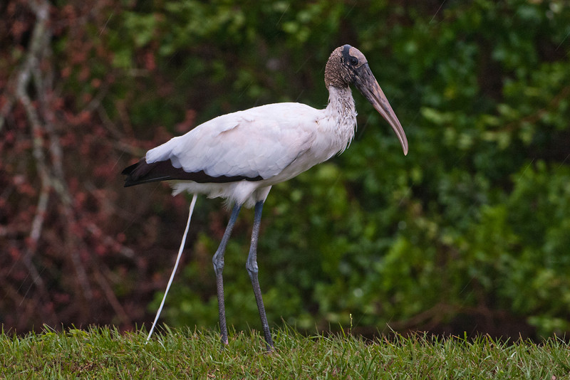 OK, I know this is pretty gross but it's also kind of funny.  I was photographing a Wood Stork at Lake Marion in Kissimmee.  At exactly the moment I took the picture, the stork decided to relieve itself.  I guess if you take bird photos long enough you'll eventually get a shot like this!