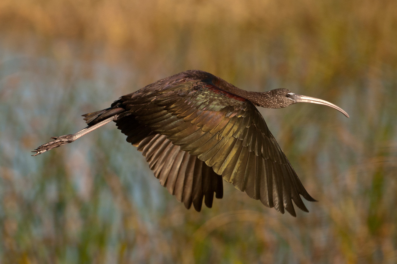 The light was just right for showing off the metallic hues in the plumage of this Glossy Ibis.  It's a medium-sized bird, about 19-26 inches long, with a 3-foot wingspan.  This species is found along the Atlantic and Gulf Coasts in the U.S. and throughout Florida.  The long, decurved bill is used to probe the mud for food.  Ibis eat a lot of crayfish and, in Florida, it's reported that they also eat lots of water snakes.  This photo was also taken at Lake Toho.