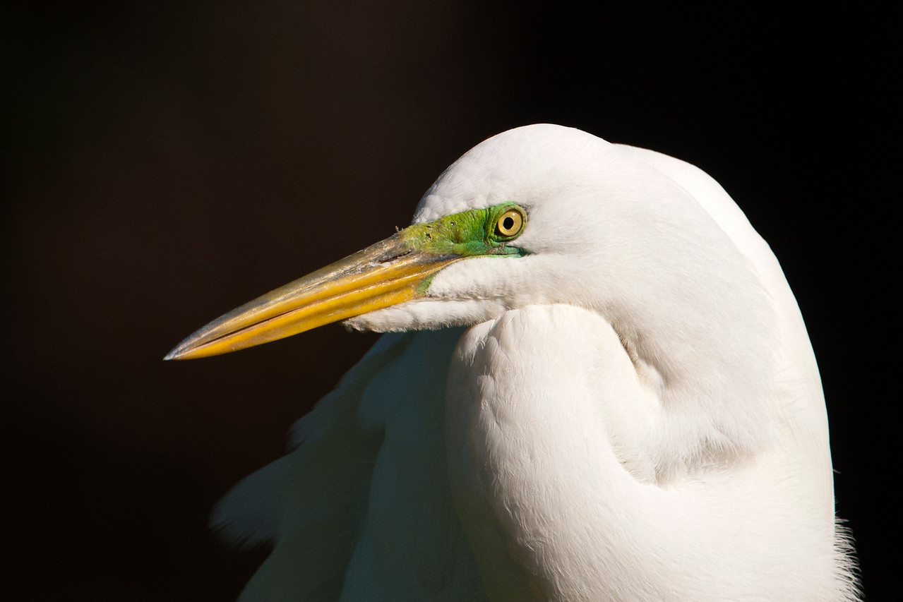During the photo workshop I attended in Florida, we visited an island where Great Egrets were nesting.  The island was on Lake Toho, near Kissimmee.  This photo shows the bright lime-green color of the facial skin during the breeding season.  During the rest of the year this skin is yellow.