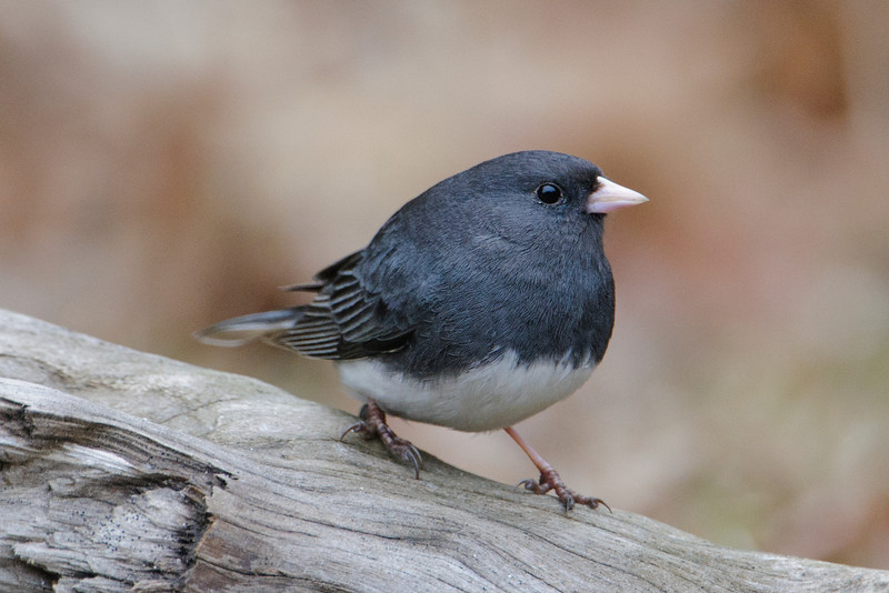 Dark-eyed Juncos are moving through our area.  They spend the winter all across the United States.  But most of the time we are just a little too far north to have them stay here.  We see them for a few weeks in the spring and fall as they move between their wintering areas and their summer nesting territories across Canada.  The dark upper parts of this bird tell me it is a male.