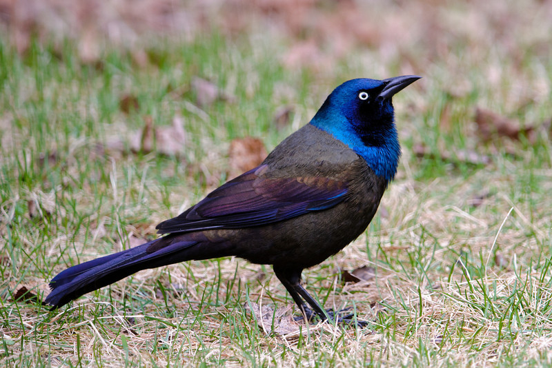 Common Grackles are also back with us.  They aren't very popular birds but I think they are quite striking when seen in the right light.  I have better luck photographing them when it's cloudy than when the sun is bright.